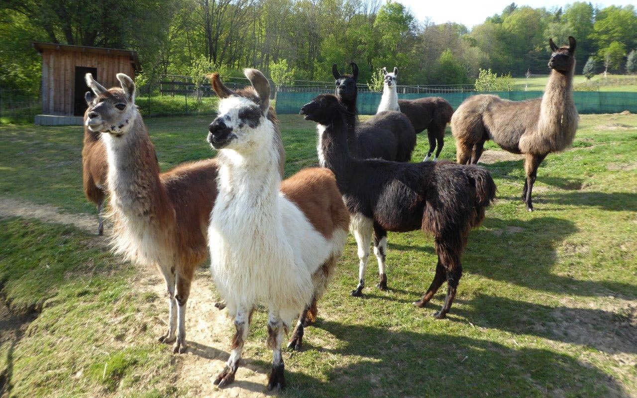 Lamas vom Elfenhof